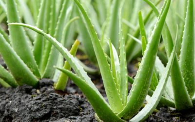 What is Aloe Vera and why you should use it everyday